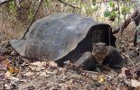 Une tortue géante des Galapagos