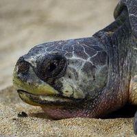 Une tortue marine olivâtre