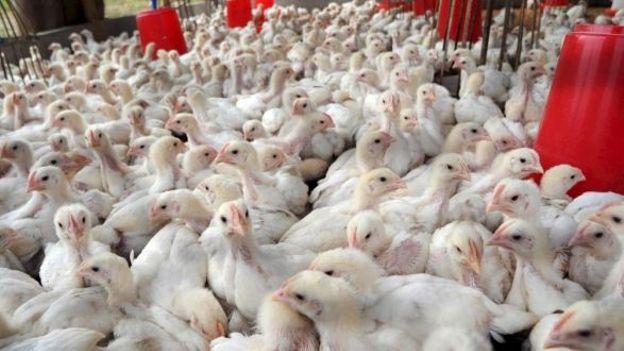 Construire Un Poulailler Industriel